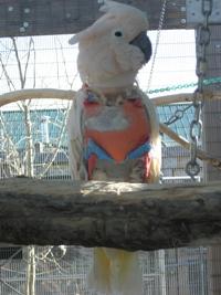 Ricky Roo - Moluccan Cockatoo